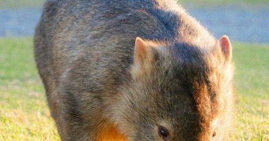 wombat pospolity